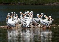 Pod of Pelicans, Lockport, Manitoba
