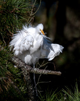 A very fluffy great egret