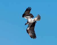 Osprey diving on a fish