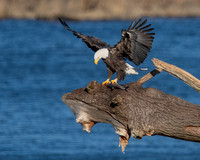 Eagle and its catch